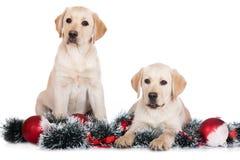 Δύο κουτάβια του Λαμπραντόρ με τις διακοσμήσεις Χριστουγέννων Στοκ Εικόνα