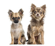 Δύο κουτάβια Chihuahua, που απομονώνονται στο λευκό Στοκ Εικόνες