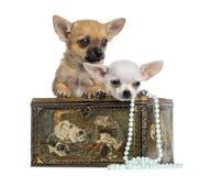 Δύο κουτάβια Chihuahua σε ένα εκλεκτής ποιότητας κιβώτιο, 4 μηνών, που απομονώνονται Στοκ Εικόνα