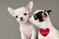 Δύο κουτάβια Chihuahua. Στοκ φωτογραφία με δικαίωμα ελεύθερης χρήσης