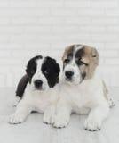 Δύο κουτάβι Alabai σε ένα άσπρο υπόβαθρο στο στούντιο Στοκ Εικόνες