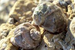 Δύο κοχύλια του φλεβικού rapana στην ακτή μεταξύ της άμμου και των πετρών στοκ εικόνα