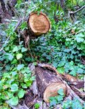 Δύο κούτσουρα δέντρων μεταξύ του φυλλώματος Στοκ φωτογραφίες με δικαίωμα ελεύθερης χρήσης