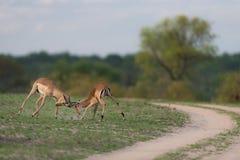 Δύο κριοί impala που αγωνίζονται σε ένα χλοώδες καθάρισμα εκτός από έναν βρώμικο δρόμο Στοκ φωτογραφία με δικαίωμα ελεύθερης χρήσης