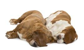 Δύο κυνηγόσκυλα μπασέ που βρίσκονται και που κοιμούνται Στοκ Φωτογραφίες