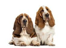 Δύο κυνηγόσκυλα μπασέ Στοκ φωτογραφίες με δικαίωμα ελεύθερης χρήσης