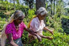 Δύο κυρίες που μαδούν το τσάι Στοκ εικόνα με δικαίωμα ελεύθερης χρήσης