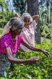 Δύο κυρίες που μαδούν το τσάι Στοκ Εικόνες