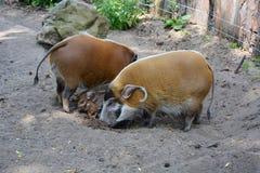 Δύο κόκκινα γουρούνια ποταμών με τα χοιρίδιά τους στο ζωολογικό κήπο Στοκ Φωτογραφία
