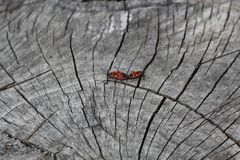 Δύο κόκκινα ζωύφια firebugs, κόκκινα ζωύφια στρατιωτών, pandurus Spilostethus, χρωστικές ουσίες βαμβακιού, ζευγάρωμα Pyrrhocorida στοκ εικόνες