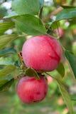 Δύο κόκκινα μήλα σε έναν κλάδο Στοκ φωτογραφία με δικαίωμα ελεύθερης χρήσης