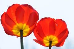 Δύο κόκκινα λουλούδια Στοκ Εικόνες