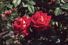 Δύο κόκκινα τριαντάφυλλα στον κήπο Στοκ Εικόνες
