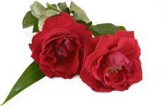Δύο κόκκινα τριαντάφυλλα ακριβώς που αρχίζουν να βλασταίνει Στοκ εικόνες με δικαίωμα ελεύθερης χρήσης