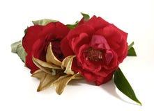 Δύο κόκκινα τριαντάφυλλα ακριβώς που αρχίζουν να βλασταίνει Στοκ Εικόνες