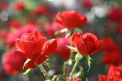 Δύο κόκκινα τριαντάφυλλα στη φυτεία με τριανταφυλλιές Στοκ Εικόνες