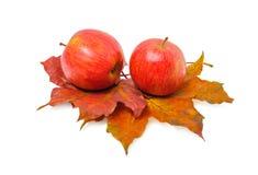 Δύο κόκκινα ώριμα μήλα είναι στα κόκκινα ζωηρόχρωμα φύλλα σφενδάμου Στοκ εικόνες με δικαίωμα ελεύθερης χρήσης