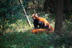 Δύο κόκκινα pandas που παίζουν στο δάσος Στοκ Εικόνες