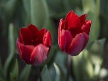 Δύο κόκκινες τουλίπες Στοκ φωτογραφία με δικαίωμα ελεύθερης χρήσης