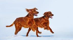 Δύο κόκκινοι ιρλανδικοί ρυθμιστές τρέχουν πέρα από το άσπρο χιόνι το χειμώνα Στοκ Φωτογραφία