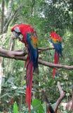 Δύο κόκκινοι χρωματισμένοι παπαγάλοι Ara Στοκ Φωτογραφία