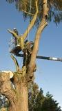 Δύο κόπτες δέντρων στην εργασία για ένα μεγάλο δέντρο ιτιών. Στοκ Εικόνες