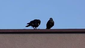 Δύο κόρακες κάθονται σε μια στέγη και καθαρίζουν τα ράμφη τους μια ηλιόλουστη ημέρα στην slo-Mo απόθεμα βίντεο