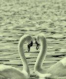 Δύο κύκνοι διαμορφώνουν μια μορφή καρδιών αγάπης με τους λαιμούς τους, λίμνη ohrid, Μακεδονία Στοκ Εικόνες