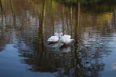 Δύο κύκνοι καθαρίζουν τα φτερά στη λίμνη στοκ εικόνες