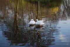 Δύο κύκνοι καθαρίζουν τα φτερά στη λίμνη στοκ φωτογραφίες