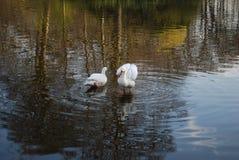 Δύο κύκνοι καθαρίζουν τα φτερά στη λίμνη στοκ εικόνες με δικαίωμα ελεύθερης χρήσης