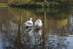 Δύο κύκνοι καθαρίζουν τα φτερά στη λίμνη στοκ φωτογραφία