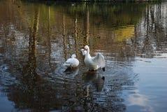 Δύο κύκνοι καθαρίζουν τα φτερά στη λίμνη στοκ εικόνα με δικαίωμα ελεύθερης χρήσης