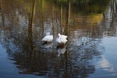 Δύο κύκνοι καθαρίζουν τα φτερά στη λίμνη στοκ φωτογραφία με δικαίωμα ελεύθερης χρήσης