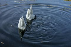 Δύο κύκνοι στη λίμνη στοκ εικόνα με δικαίωμα ελεύθερης χρήσης