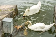Δύο κύκνοι ταΐζουν τα ψάρια στη λίμνη με την αγάπη & την προσοχή Στοκ Εικόνα