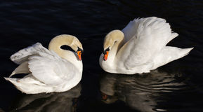 Δύο κύκνοι Στοκ φωτογραφία με δικαίωμα ελεύθερης χρήσης