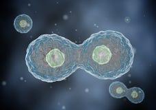 Δύο κύτταρα διαιρούν με την όσμωση. Στοκ Φωτογραφία