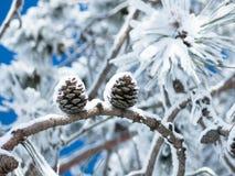 Δύο κώνοι σε έναν κλάδο του δέντρου πεύκων Στοκ εικόνες με δικαίωμα ελεύθερης χρήσης