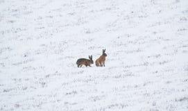 Δύο λαγοί στο χιόνι Στοκ εικόνα με δικαίωμα ελεύθερης χρήσης