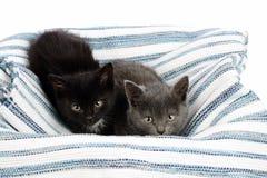 Δύο λατρευτά ενάμισι γατάκια, γκρι και ο Μαύρος μηνών με το λευκό, σε έναν τάπητα κουρελιών Στούντιο που πυροβολείται των χαριτωμ στοκ εικόνες