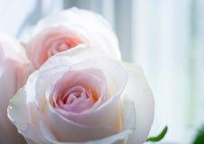 Δύο λεπτός χλωμός - ρόδινα τριαντάφυλλα ενάντια στο παράθυρο Στοκ εικόνα με δικαίωμα ελεύθερης χρήσης