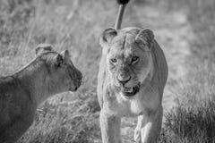 Δύο λιοντάρια που έχουν ένα μικρό επιχείρημα στοκ εικόνες