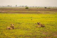 Δύο λιοντάρια που βρίσκονται στο gaggling στόμα χλόης ευρέως ανοικτό στο καπνιστό πικάντικο λουκάνικο Στοκ εικόνα με δικαίωμα ελεύθερης χρήσης