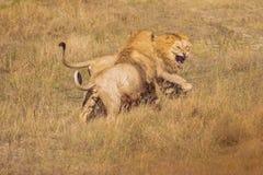 Δύο λιοντάρια που παλεύουν στις άγρια περιοχές στοκ φωτογραφίες