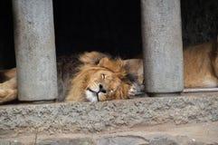 Δύο λιοντάρια στο ζωολογικό κήπο Άμστερνταμ Artis οι Κάτω Χώρες Στοκ Εικόνα