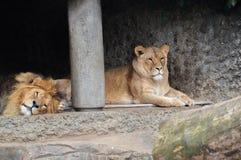 Δύο λιοντάρια στο ζωολογικό κήπο Άμστερνταμ Artis οι Κάτω Χώρες Στοκ εικόνες με δικαίωμα ελεύθερης χρήσης