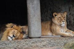 Δύο λιοντάρια στο ζωολογικό κήπο Άμστερνταμ Artis οι Κάτω Χώρες Στοκ Φωτογραφία