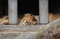 Δύο λιοντάρια στο ζωολογικό κήπο Άμστερνταμ Artis οι Κάτω Χώρες Στοκ φωτογραφία με δικαίωμα ελεύθερης χρήσης