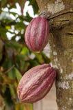 Δύο λοβοί κακάου που αυξάνονται από το δέντρο στην Κούβα στοκ εικόνες